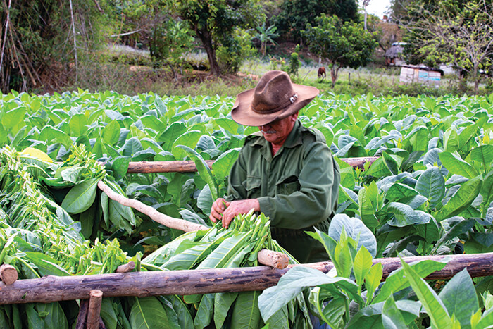 A Cuban tobacco farmer ties up harvested tobacco leaves.