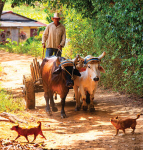 Oxen are used for cultivation and plowing and for agricultural transportation.