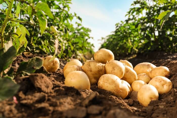 Potato sales grow