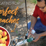 Irrigating for perfect peaches